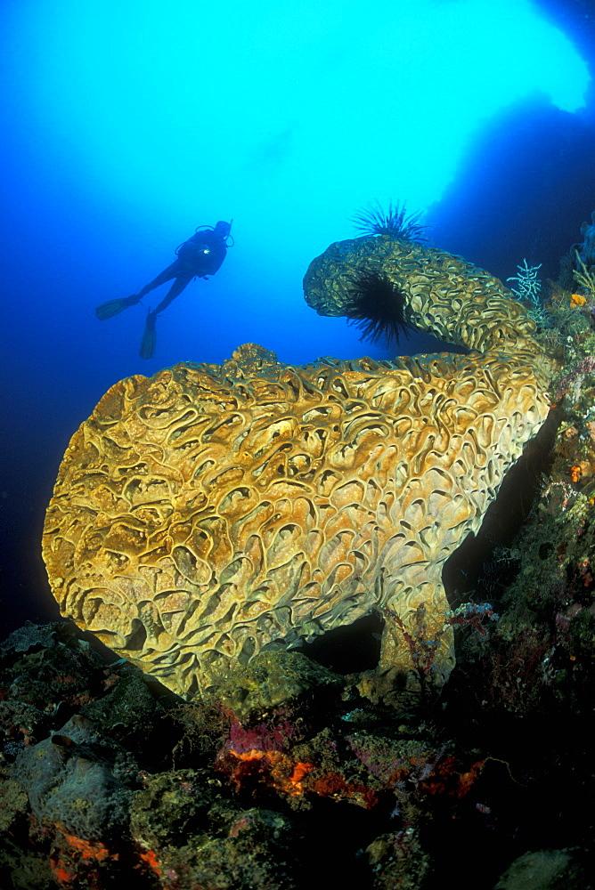 Salvador Dali Sponge (Petrosia lignosa) and diver. Unique and endemic in Gorontalo, Sulawesi, Indonesia