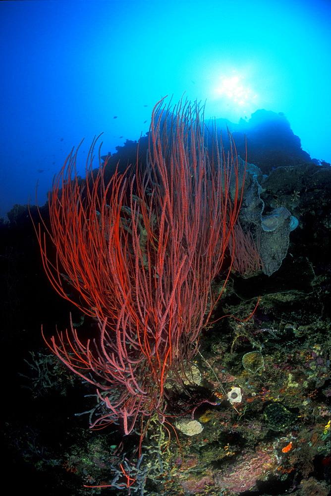 Sea Whips (Ellisella sp.) under sun. Gorontalo, Sulawesi, Indonesia