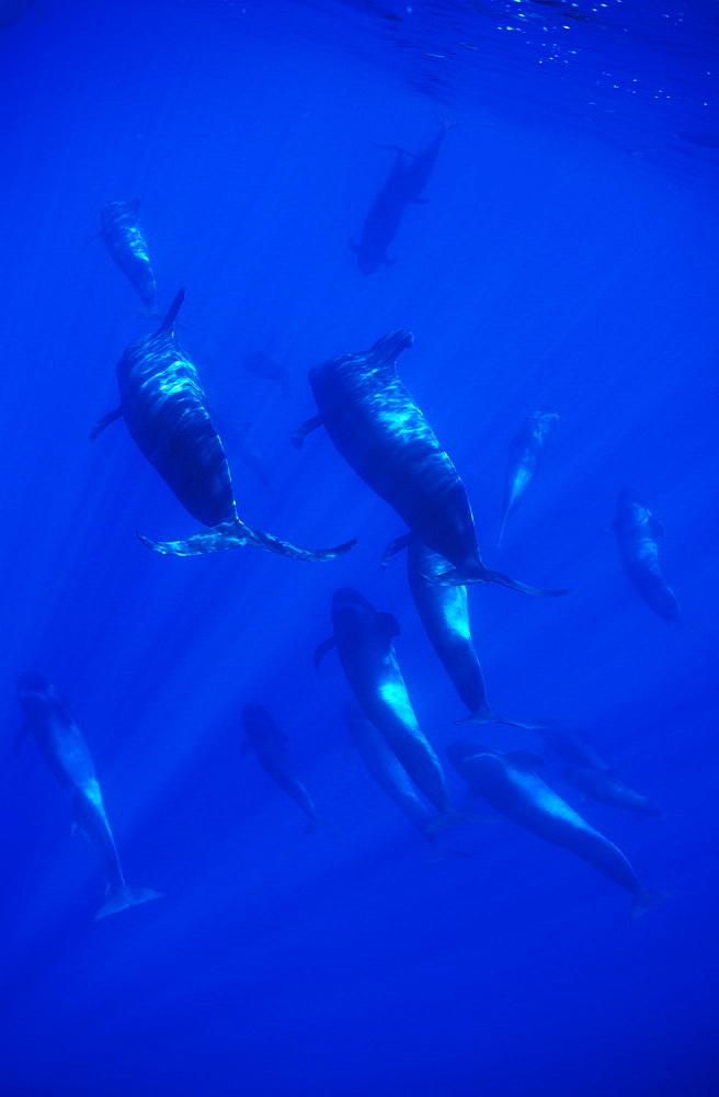 Short-finned Pilot Whale (Globicephala macrorhynchus) large pod. Azores, Portugal, Atlantic