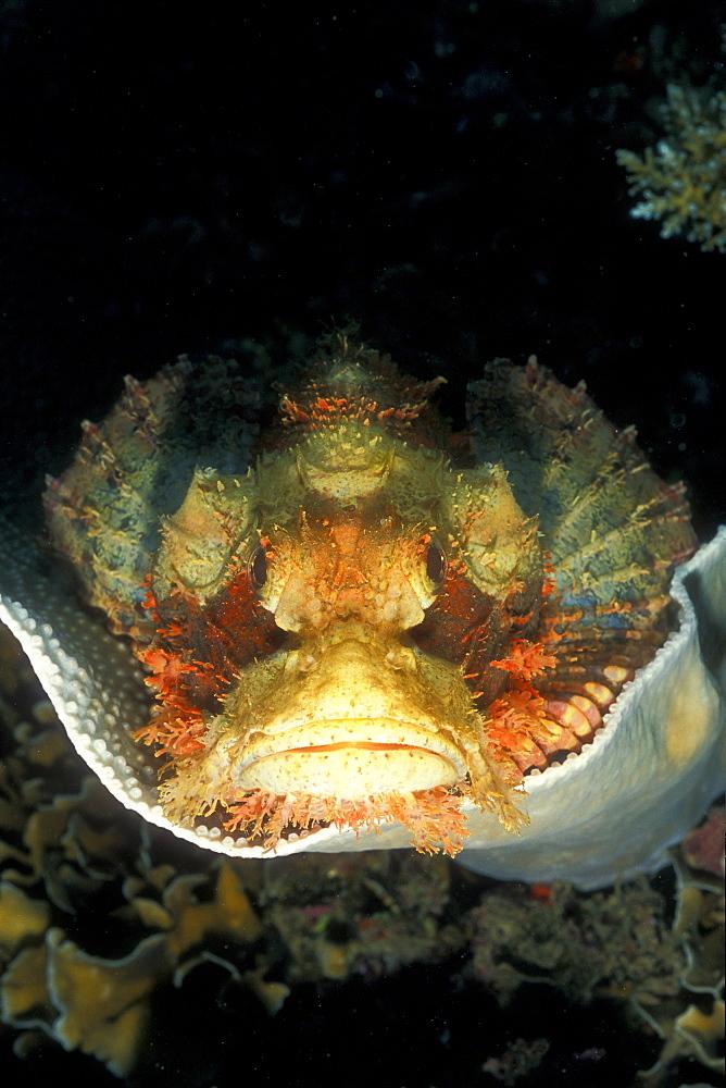 Tasseled Scorpionfish (Scorpaenopsis oxycephala). Gorontalo, Sulawesi, Indonesia - 1012-194