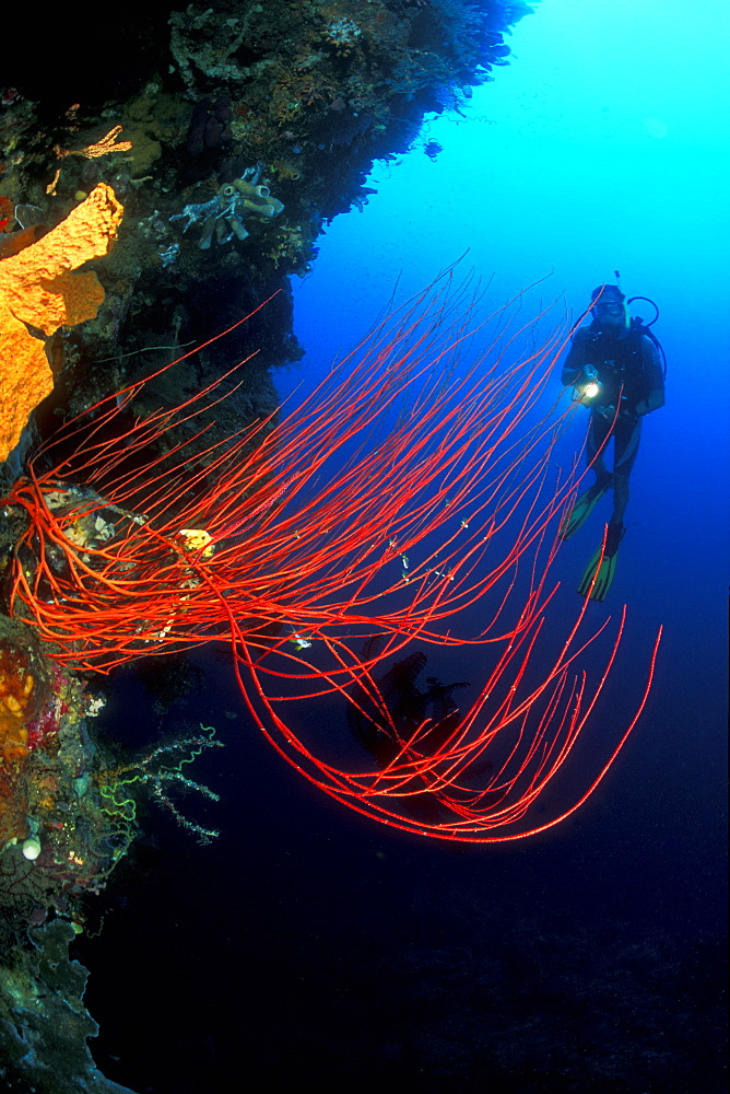 Whip Coral and diver. Gorontalo, Sulawesi, Indonesia