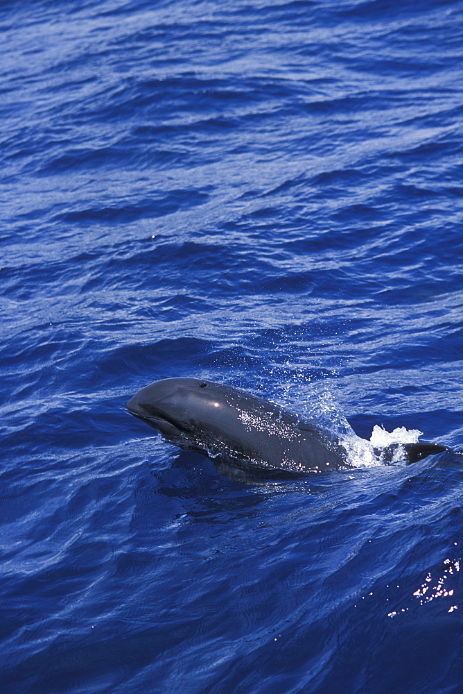 Melon-headed whale (Peponocephala electra). Surfacing, lifting its head high out of the water. Indonsia.