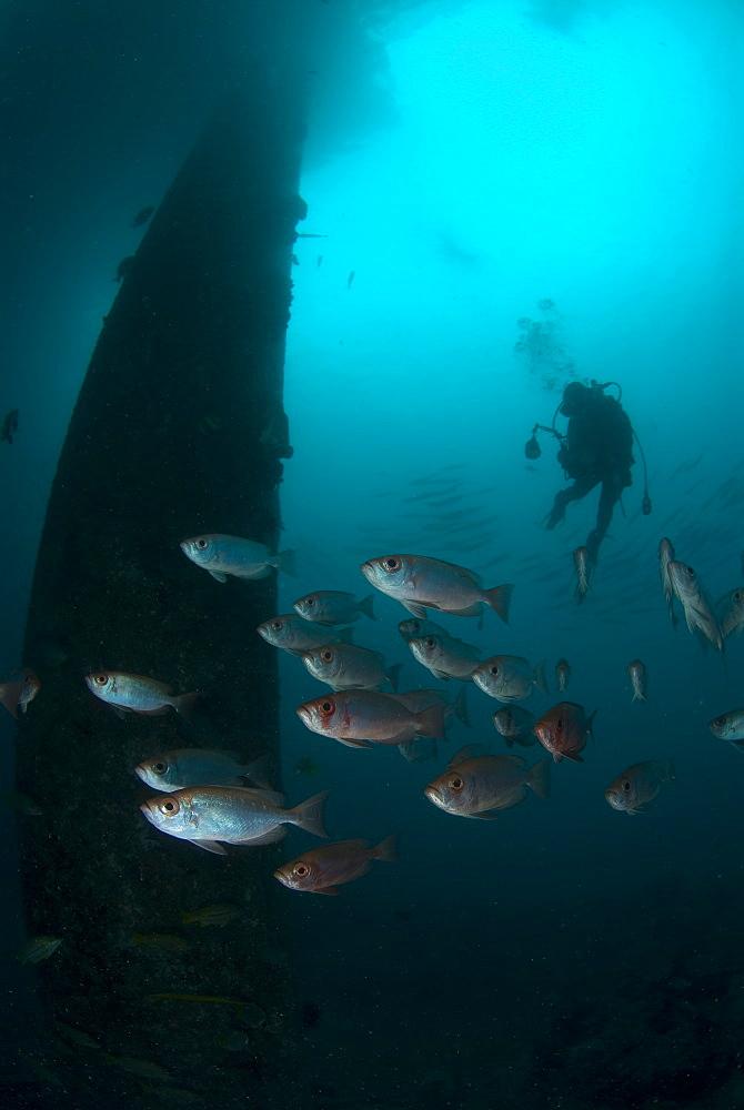 Big Eye Cotton Fish & diver. Mabul Island, Malaysia