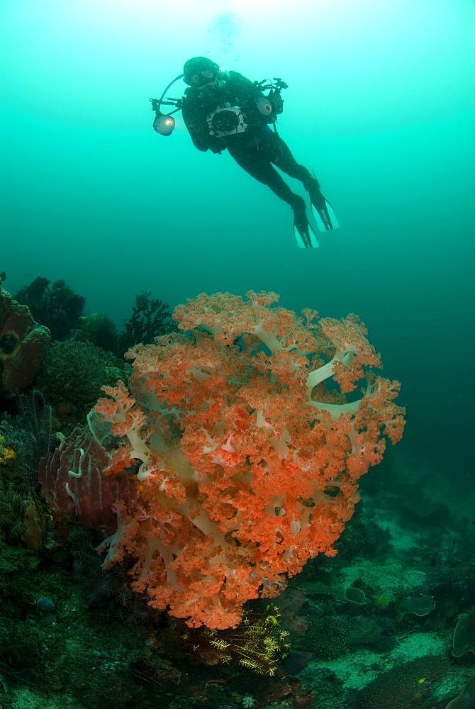 Soft Coral & diver. Komodo, Indonesia