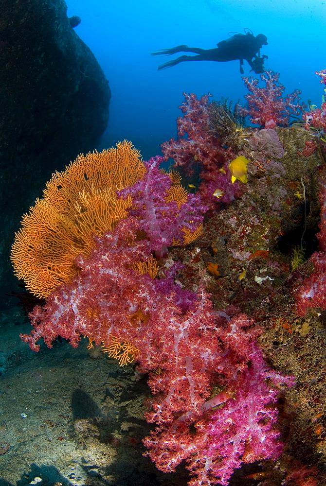 Soft Coral, Sea Fan & diver. Similans, Thailand