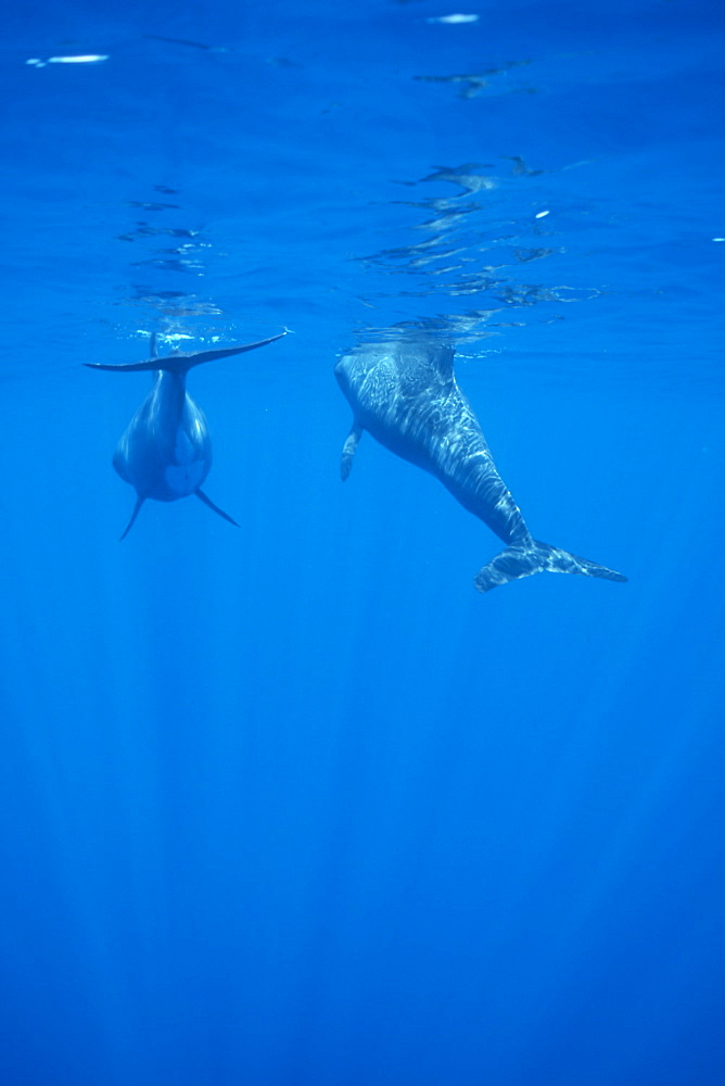 Pygmy killer whale (Feresa attenuata) two swimming away from camera, one surfacing to breathe.