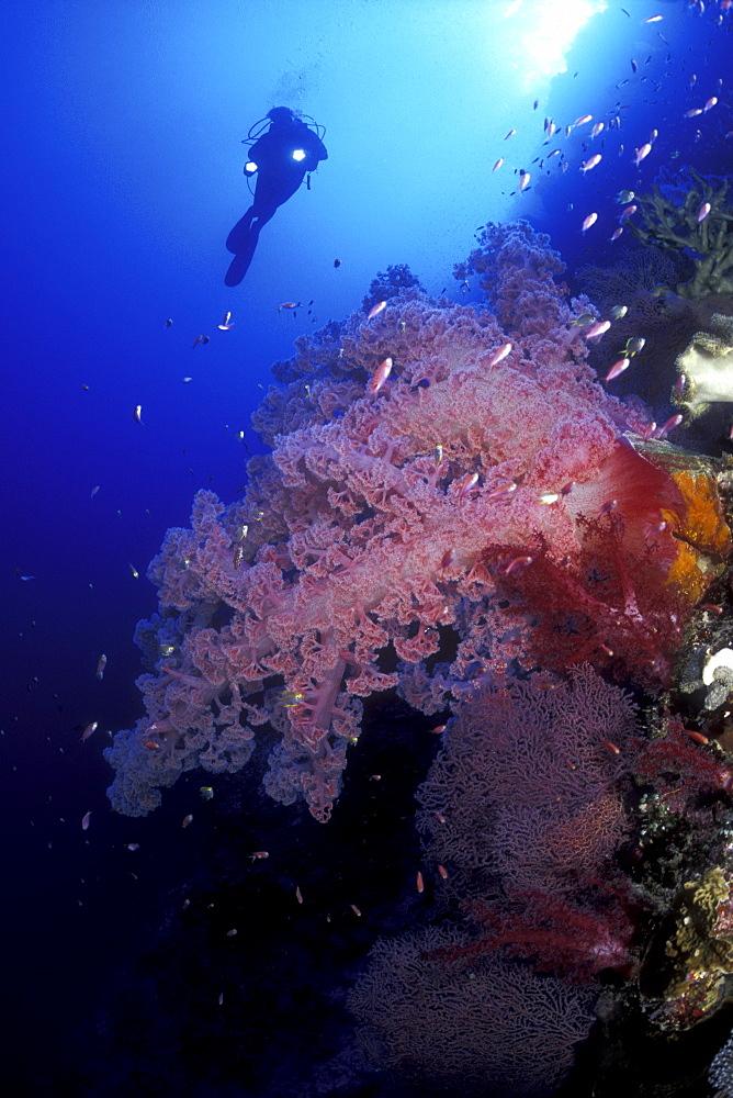 Diver & Soft Coral. Layang Layang Island, Malaysia