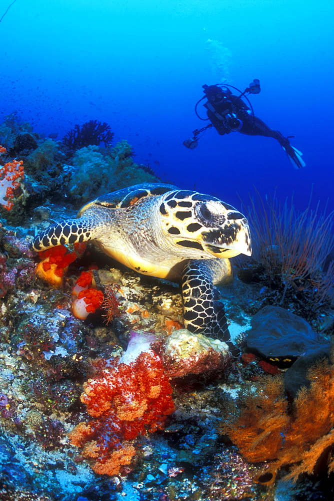 Hawksbill Turtle and diver. Komodo, Indonesia