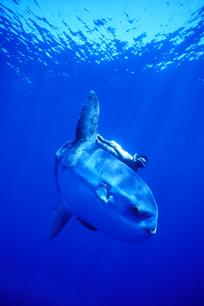 Mola Mola or Oceanic Sunfish & snorkeler. Azores, Portugal - 1012-73