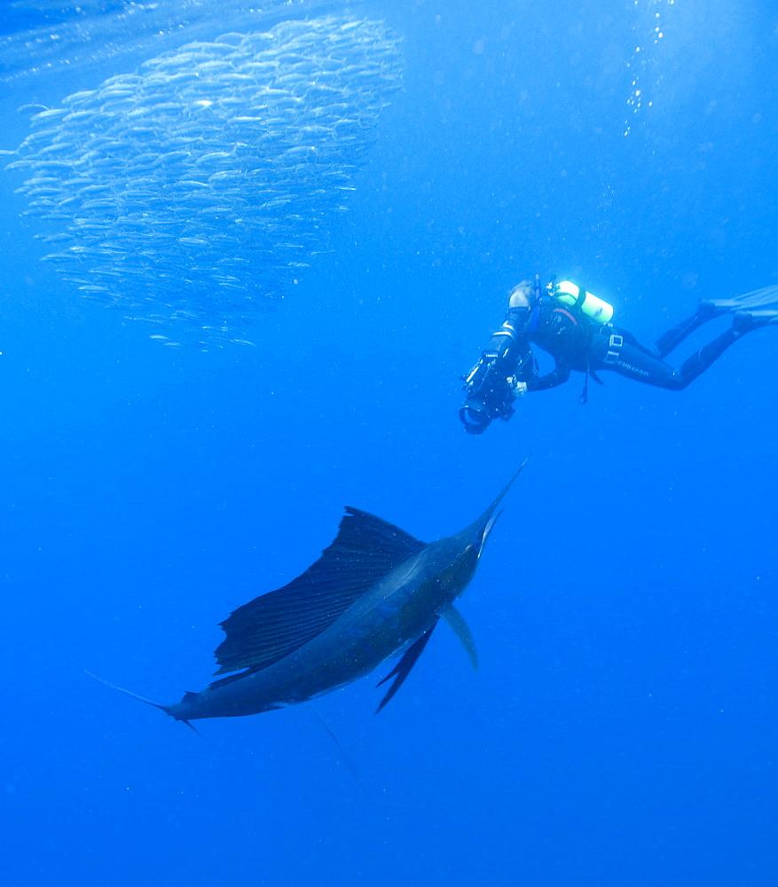 Sailfish & diver. Mexico