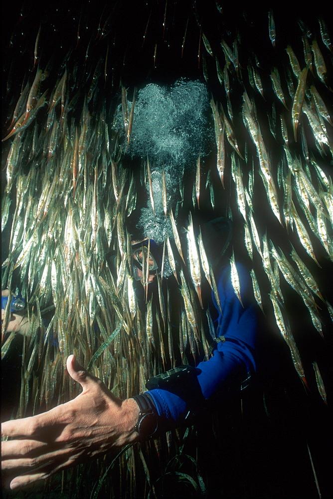 Shrimp & Razor Fish & diver. Milne Bay, Papua New Guinea