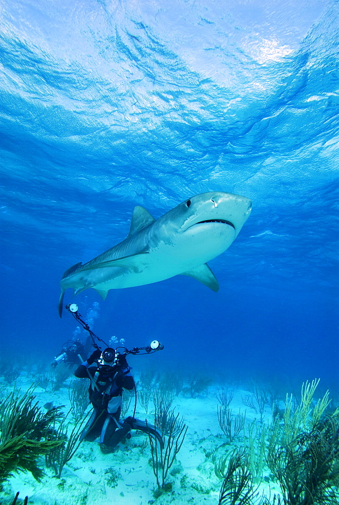 Tiger Shark & diver. Bahamas, Atlantic Ocean