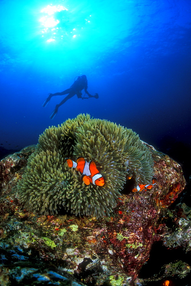 Western Clownfish & diver. Similans, Thailand