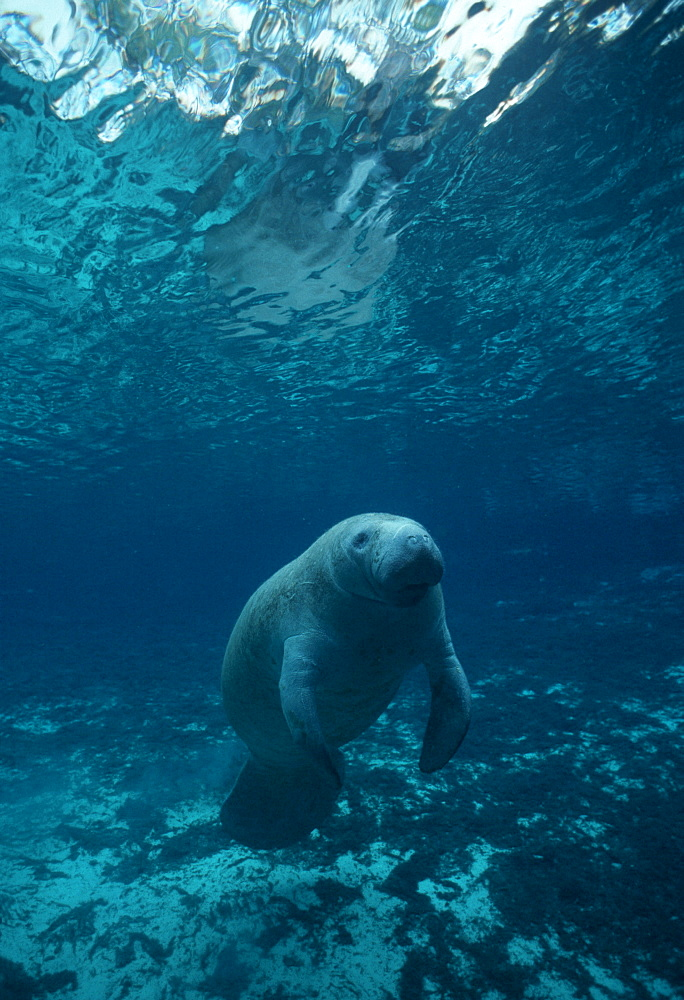Manatee, juvenile, in crystal-clear spring (Trichechus manatus). USA, Florida