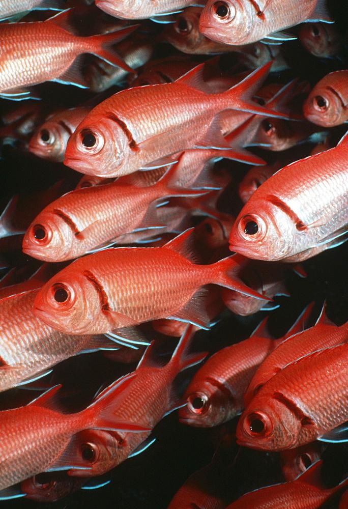 Soldierfish (Myripristris jacobus). Cocos Island, Costa Rica