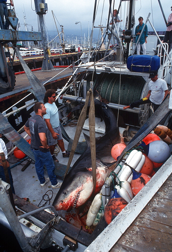 White shark killed in drift net, on deck (Carcharodon carcharius). USA, Channel Islands, CA