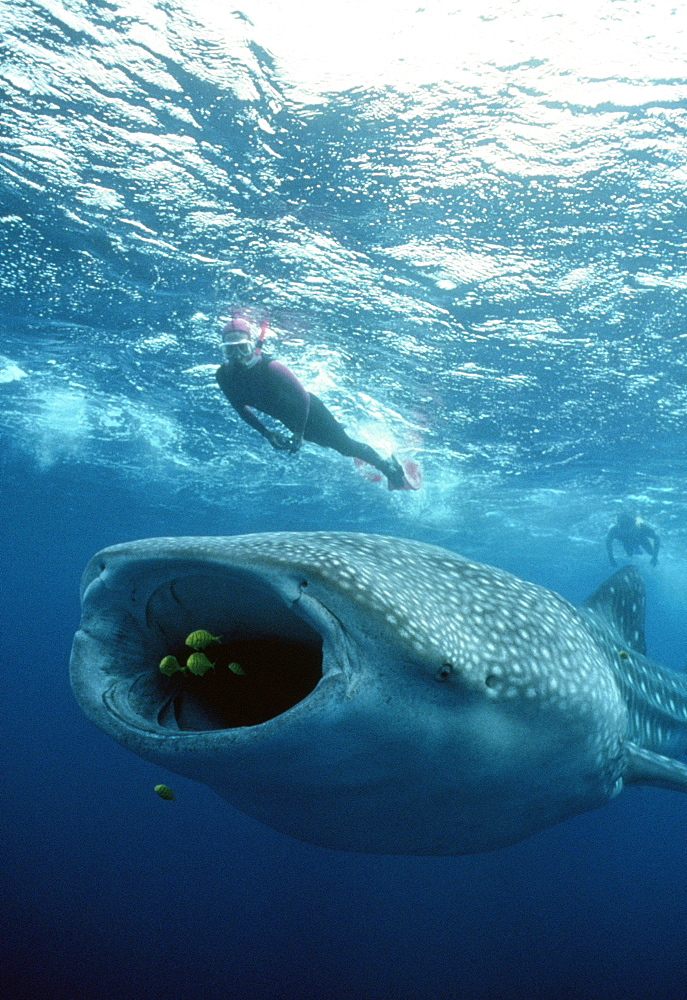 Whale Shark with diver.   (rr)