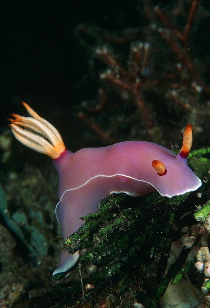 Nudibranch (Hyselodoris bullockii). Indo Pacific:Papua New Guinea