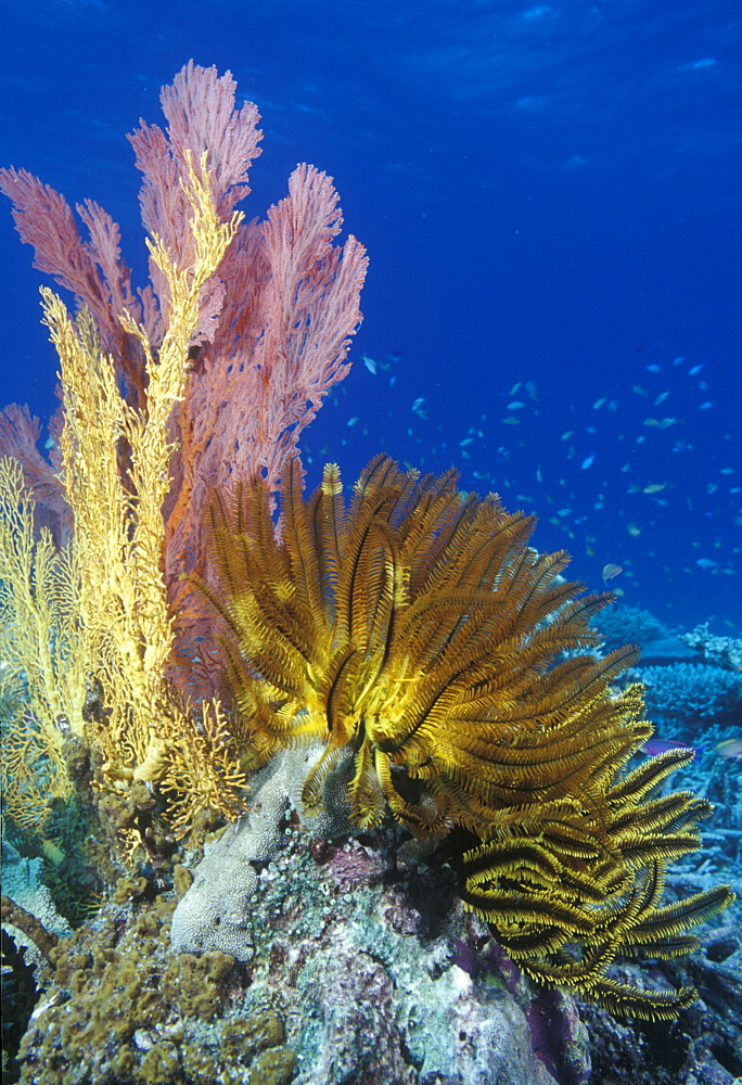 Crinoids & soft corals on reef. Indo Pacific