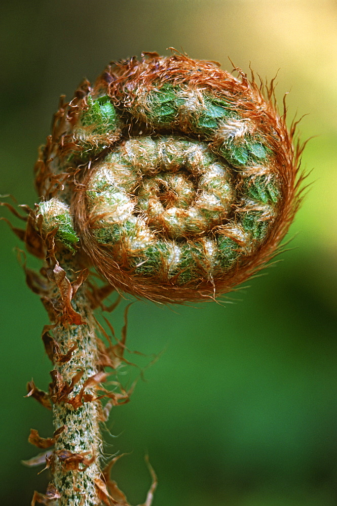 Portrait of Lady fern frond (Athyrium filix-femina), UK - 1024-117