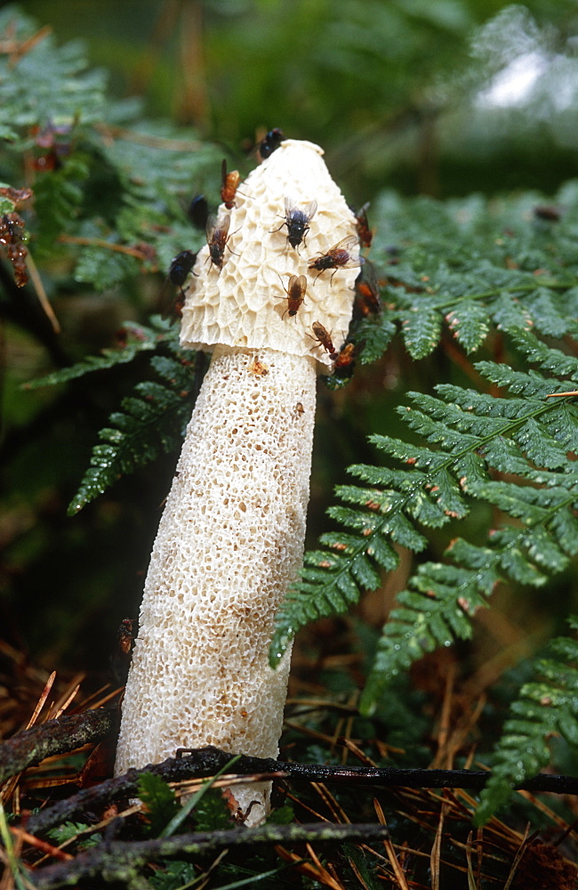 Common stinkhorn (Phallus impudicus) with fly on gleba, UK. - 1024-182