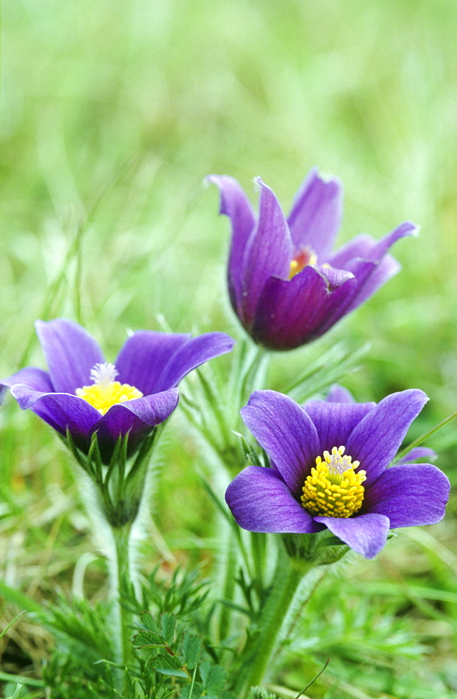 Pasque flower (Pulsatilla vulgaris), UK - 1024-99