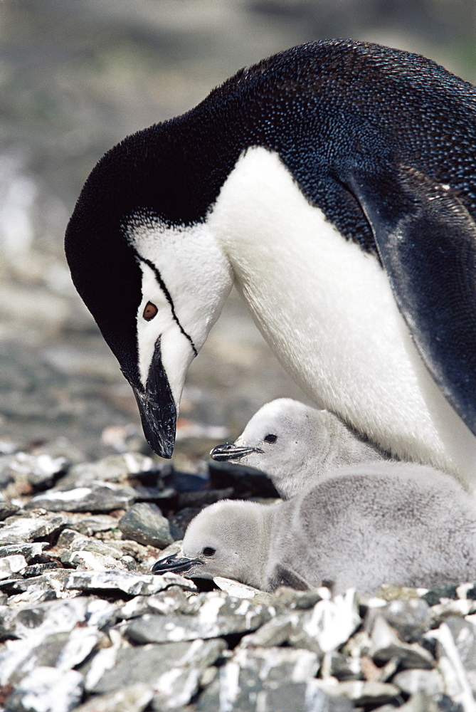 Chinstrap penguin (Pygoscelis antarctica) with chicks, Hannah Point, Antarctica, Southern Ocean.