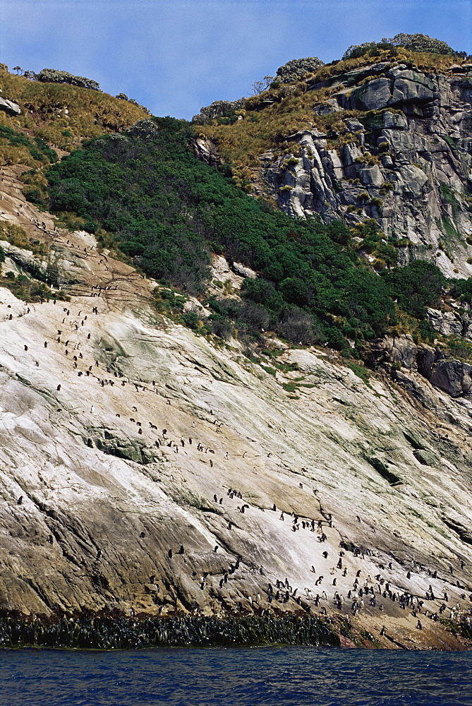NOTE: High path to top of island used by Snares crested penguins (Eudyptes atratus), Snares Islands, New Zealand, Pacific Ocean.