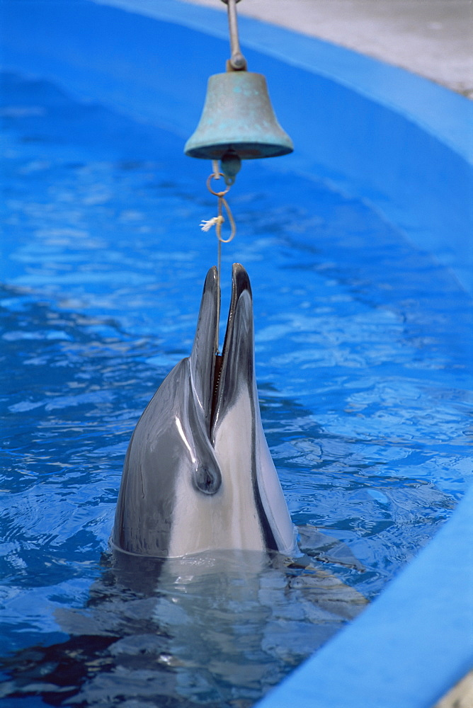 Common dolphins (Delphinus delphis) ringing bell in captivity at Napier Marine Land, Napier, New Zealand, South Pacific