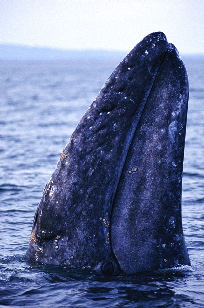 Grey whale (Eschrichtius robustus) spyhopping Baja, California.