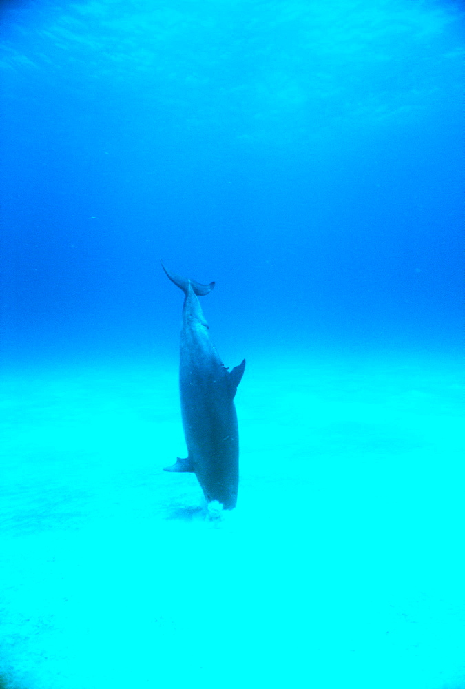 Bottlenose dolphin (Tursiops truncatus). Underwater crater, feeding on sandy bottom. Bahamas.