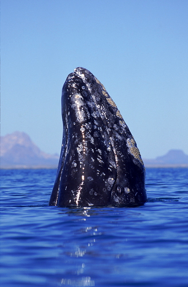Grey whale (Eschrichtius robustus) spy hopping Baja California, Mexico
