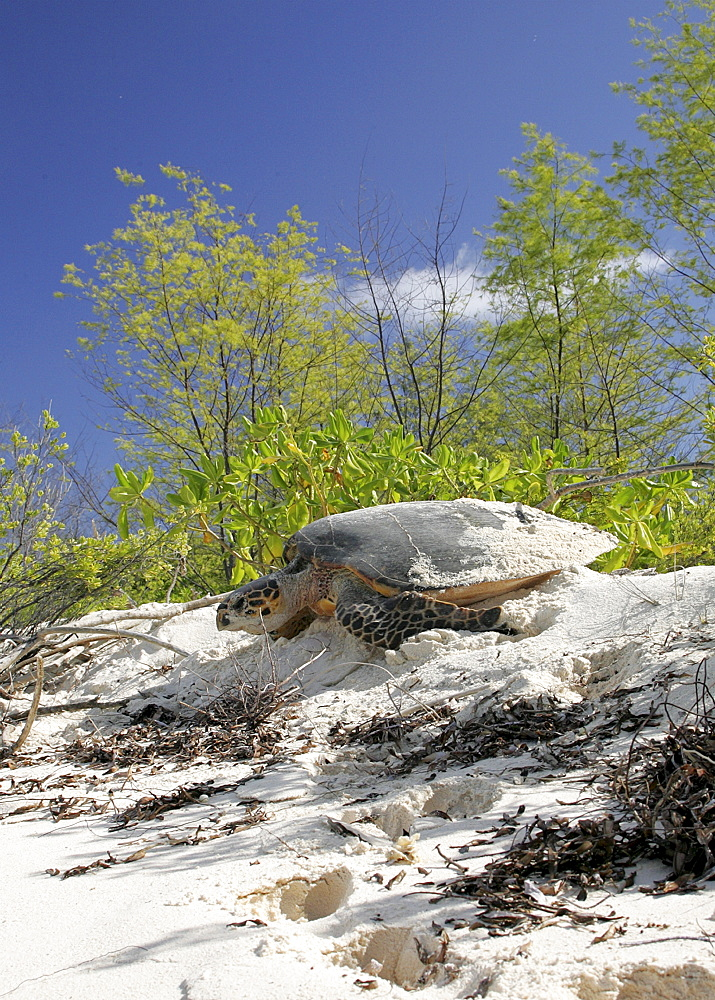 Hawksbill turtle (Eretmochelys imbricata) - adult female returning to sea after laying eggs in the sand. Bird Island, Seychelles, Indian Ocean.    (RR)   - 1036-181