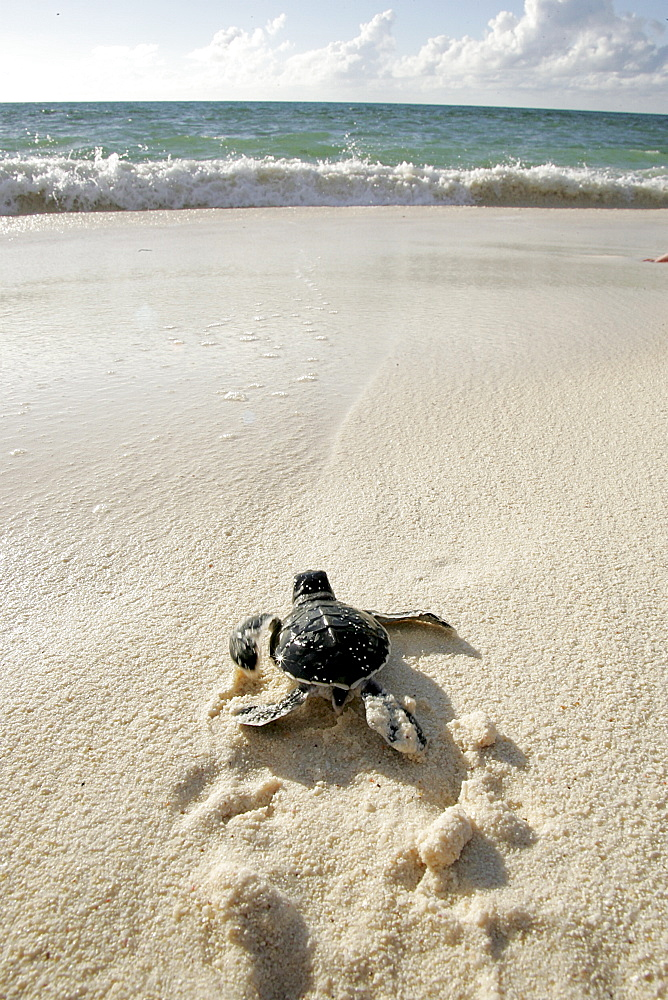 Green turtle (Chelonia mydas) - hatchling returning to the sea only hours old. Bird Island, Seychelles, Indian Ocean   (RR)