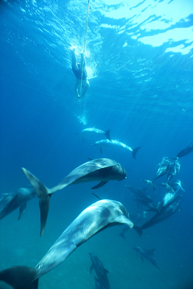 Atlantic spotted dolphins (Stenella frontalis) and snorkellers towing on a rope behind boat. Bimini, Bahamas. - 1036-256