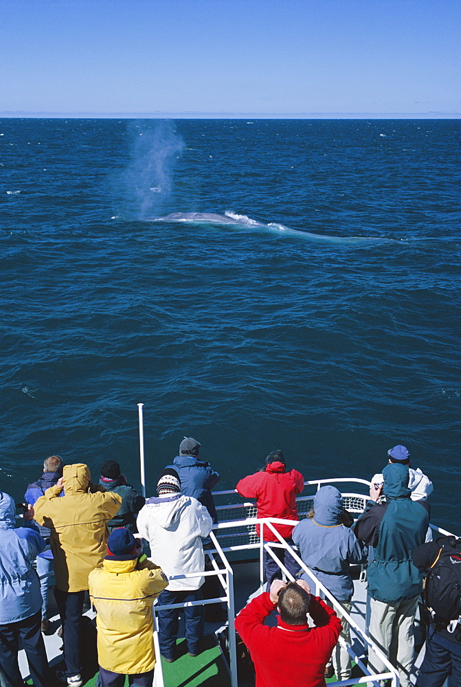 Blue whale surfacing in front of tourists on a SeaTours trip. Olafsvik, Iceland.