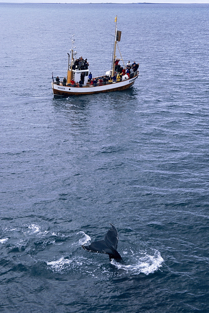 Humpback whale (Megaptera novaeangliae) fluking up to dive in full view of whale watchers on North Sailing boat. HusavÌk, Iceland