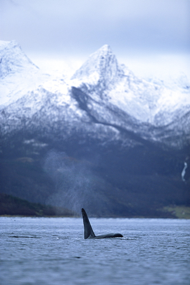 Killer whale (Orcinus orca) Adult male with vapour from blow against snow-capped mountains. Mid-winter in Tysfjord, Norway