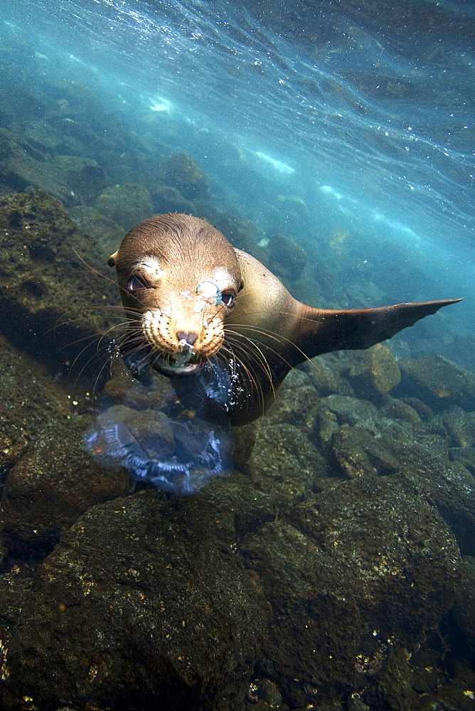 Sealion playing with jellyfish underwater in Galapagos Islands, Ecuador