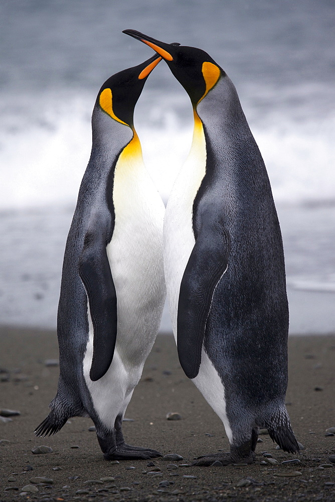 King Penguins on the beach head to head, South Georgia - 1060-23