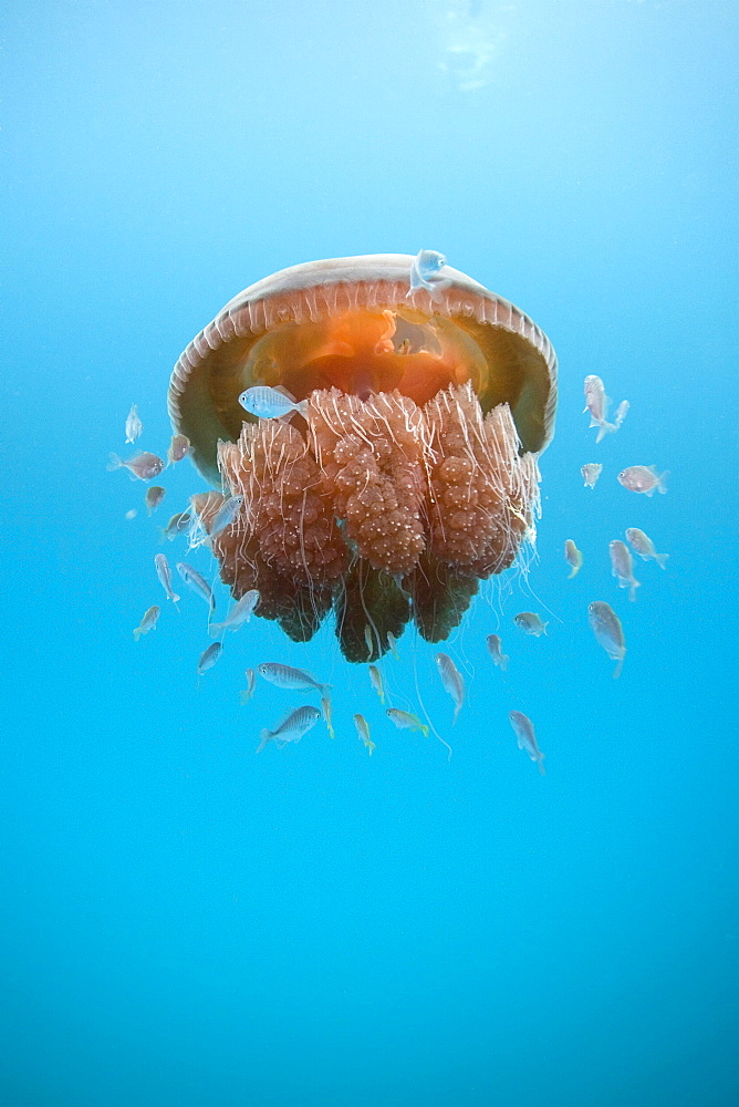 Small fish find shelter under a large Red Jelly Fish, Exmouth, Western Australia - 1060-30