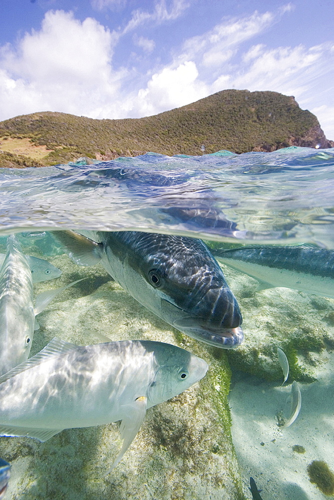 Kingfish coming into the shallows at Neds Beach Lord Howe Island Australia - 1060-31