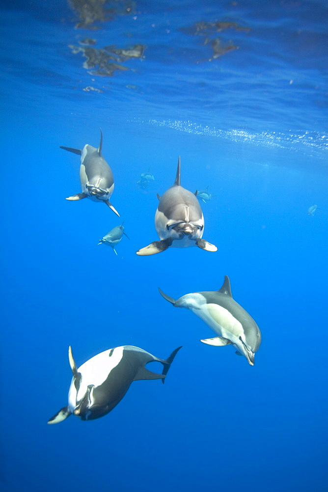 Common Dolphins approaching clicking and whistling, Azores Portugal - 1060-4