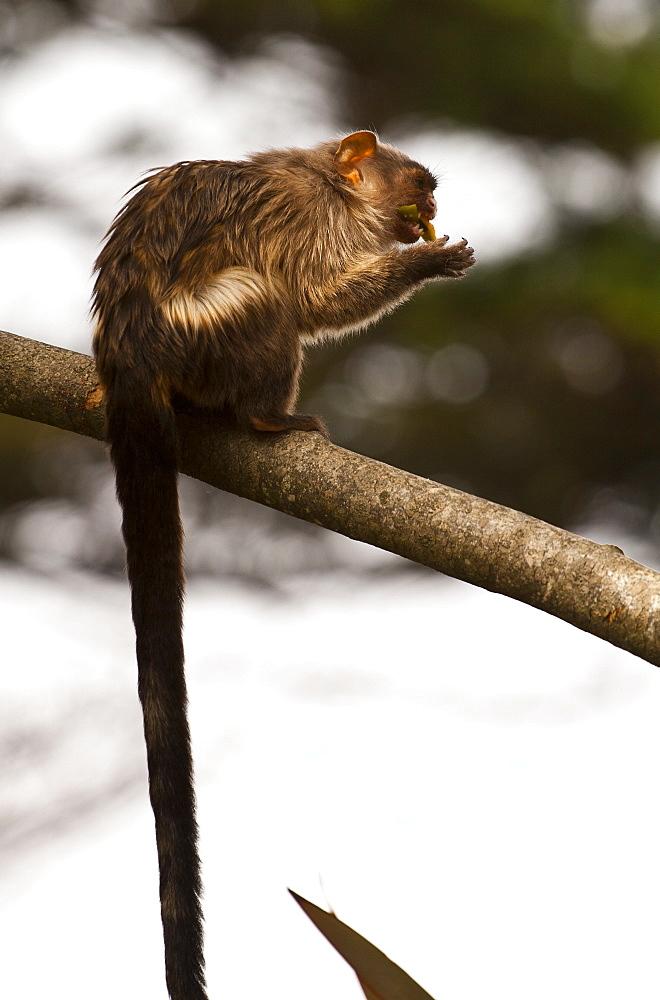 black tailed marmoset Mico melanura. captive adult eating.La Vallee Des singes, Poitou - Charentes France. More info: status, least concern.