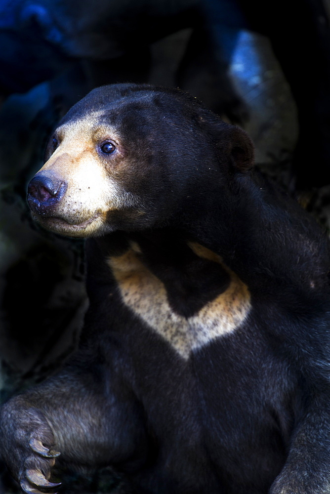 Malayan Sun Bear (Aelarctos malayanus), vulnerable, rapidly declining, down 30 percent due to deforestation, hunting and use in traditional Chinese medicine, France, Europe - 1061-49