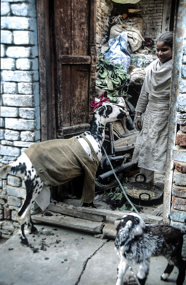 A young Indian girl opens  her door to a visiting goat in a jumper and ribbon. In Agra India. In developing countries people often live cheek by jowl with other species. The back streets of Agra are teaming with cows, pigs,goats kites etc. - 1061-6