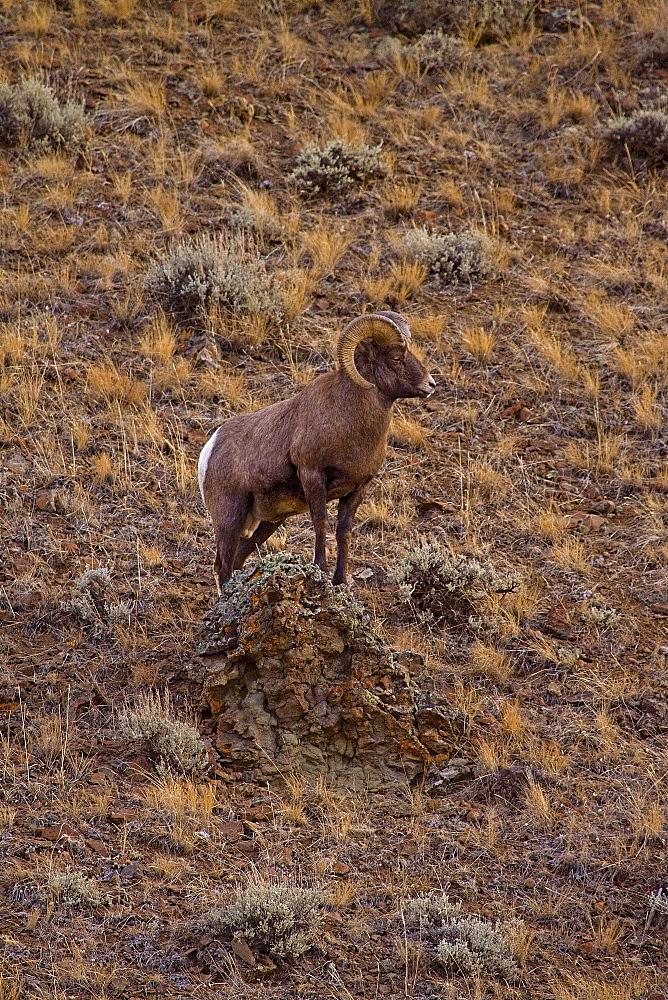 Big Horn Ram Standing On Hillside ,Ovis canadensis; Big Horn Ram; Big Horn Sheep - 1065-12