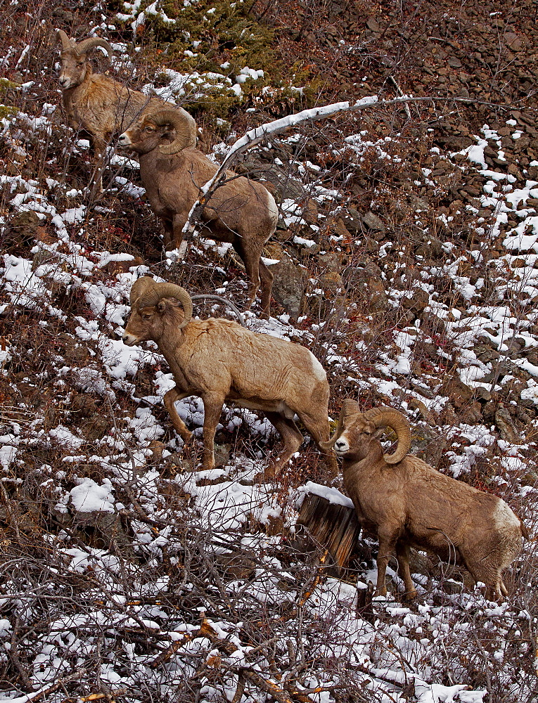 Big Horn Rams In Snow Storm, Ovis canadensis; Big Horn Sheep; Rams; North Fork Canyon; Wyoming - 1065-13