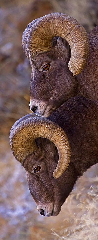 Big Horn Rams, Ovis canadensis; Big Horn Ram; Big Horn Sheep - 1065-14