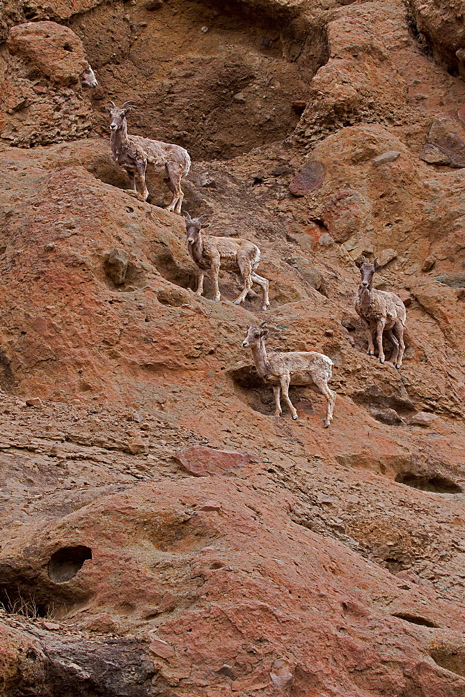 Big Horn Sheep On A Rock Wall, Ovis canadensis; Big Horn Sheep; Ewes; North Fork Canyon; Wyoming - 1065-15